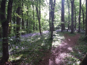 crickhowell bluebell wood